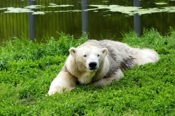Молодая медведица Забава