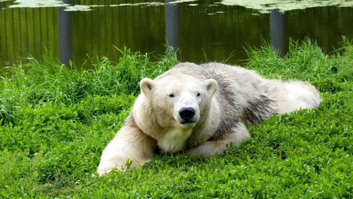 В Большереченском зоопарке перестроят вольер, чтобы подобрать самца белой медведице