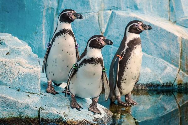 Птенцы у очковых пингвинов вылупились этим летом