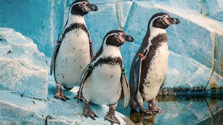 Пингвинят из «Роева ручья» впервые выпустили в бассейн