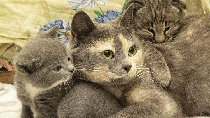 Кошка согласилась выкормить маленького рысёнка — от него отказалась рысь Сара из Новосибирского зоопарка