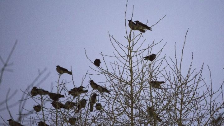 Прилетают несколько тысяч каждый год: орнитолог объяснил, почему вороны кружат над центром Новосибирска