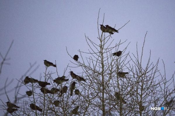 Новосибирский орнитолог объяснил, почему птицы выбирают для ночевок именно центр города