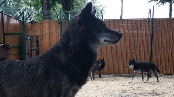 Стаю волков из нижегородской «Швейцарии» отвезли в балахнинский зоопарк