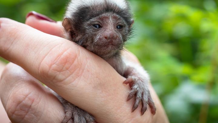 В «Роевом ручье» родились обезьянки размером с палец