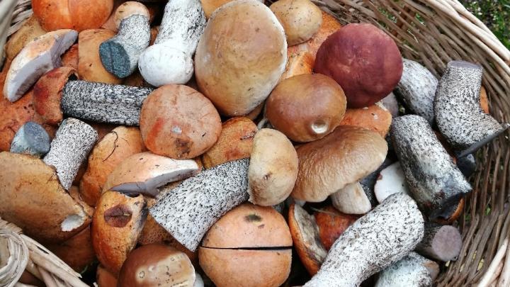 «Пошла третья волна»: миколог назвала самые грибные места в Ярославской области