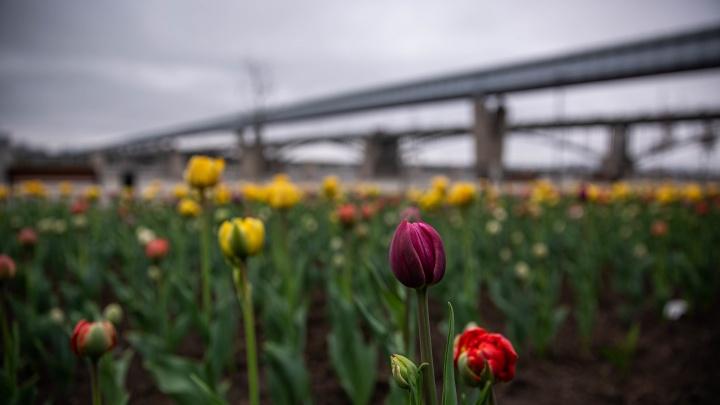 На Михайловской набережной высадили 30 тысяч тюльпанов — публикуем 9 цветущих снимков