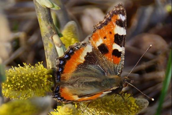 Бабочки в морозы прячутся под корой деревьев, в укромных местах