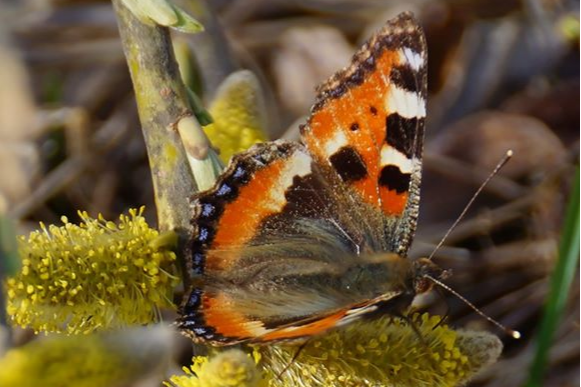 На юге края проснулись бабочки-крапивницы