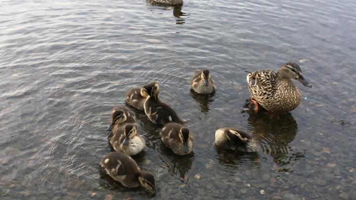Красноярские утки облюбовали для прогулок парк 400-летия