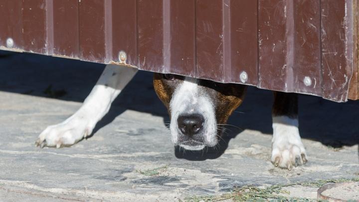 «Раны уха, плеча и спины»: в Волжском бродячая собака покусала восьмилетнюю девочку