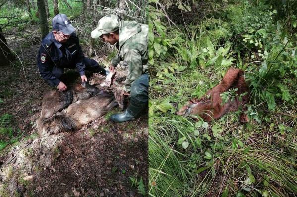 Браконьеры застрелили лосиху и трёхмесячного лосёнка