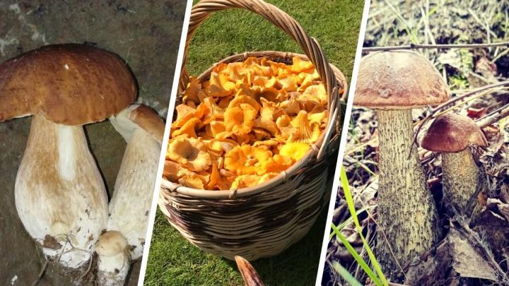 Крепкие белые, море лисичек: грибники показали свои полные корзины. Где искать грибы