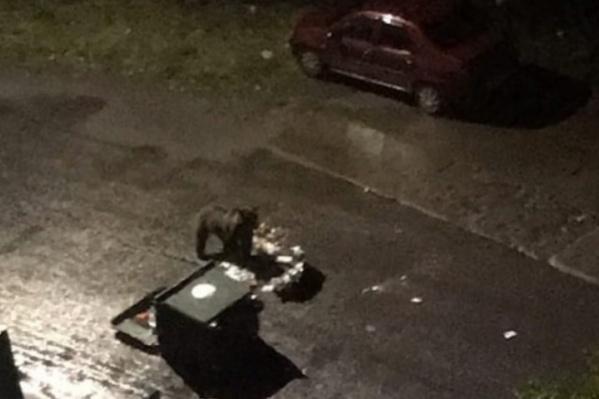 """Медведя возле мусорных баков заметили жители округа, сфотографировали. Несколько горожан <a href=""""https://29.ru/text/incidents/69475643/"""" target=""""_blank"""" class=""""_"""">рассказали 29.RU об этом происшествии</a>"""
