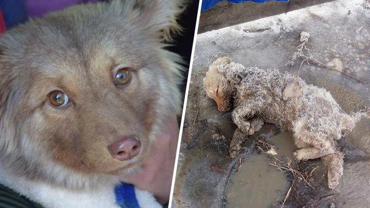 «Вмерзла в лужу и скулила»: история чудесного спасения щенка в Сызрани