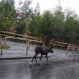 «Девчонки, чей домой не вернулся?»: по улицам Челябинска бегал северный олень