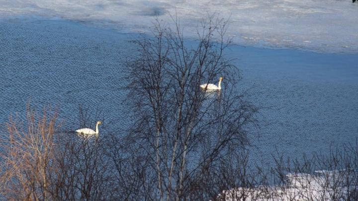 Теперь точно весна: в Екатеринбург прилетела стая белых лебедей