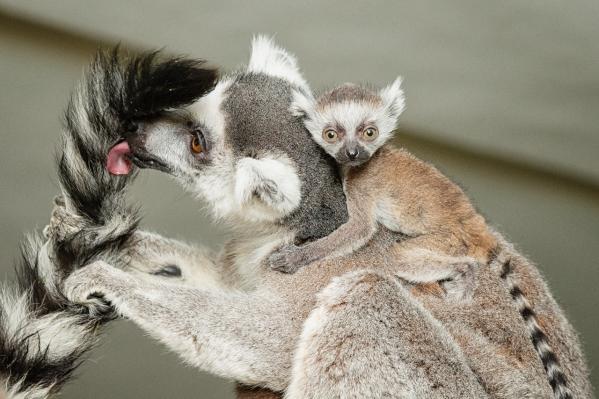 Самка в первые месяцы носит детёныша на спине