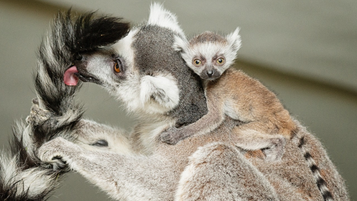 У кошачьих лемуров в Новосибирском зоопарке родились малыши — вы только посмотрите на них