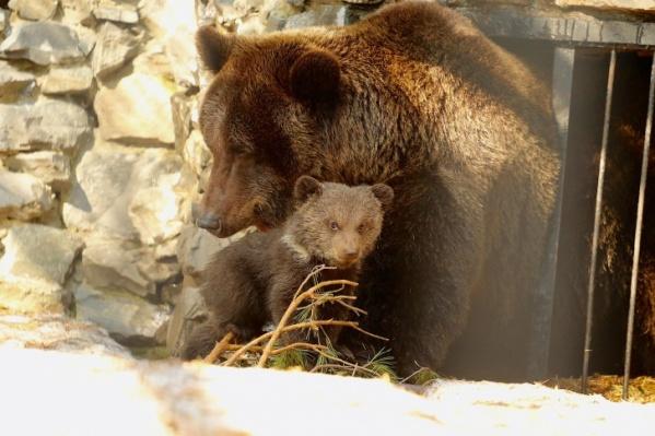 С медведицей было два медвежонка