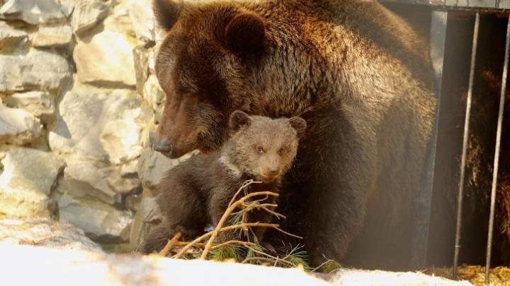 Медведица и два медвежонка вышли к людям в Новосибирской области