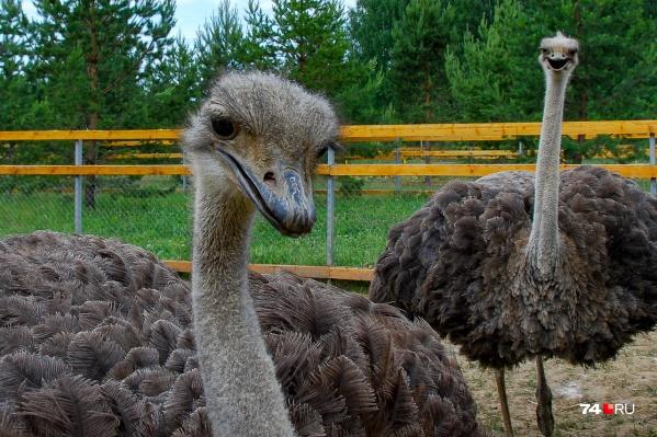 Это хобби началось со страусов, но ими не ограничилось