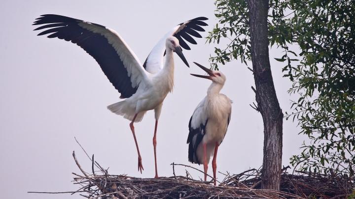 «Аисты под угрозой?»: как Mamba и Всемирный фонд дикой природы поможет экологии