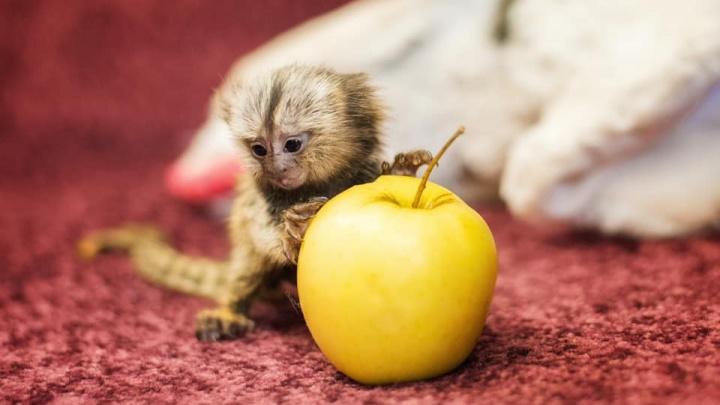 В Ростовском зоопарке родилась тройня милых обезьянок