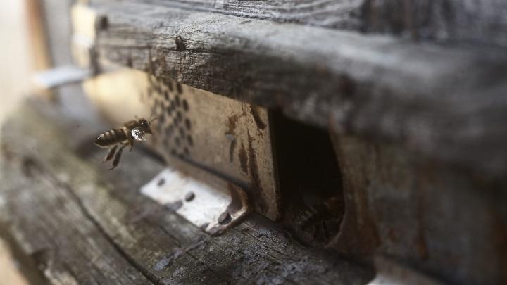 Массовая гибель пчел в Кузбассе: рассказываем, что случилось в регионе