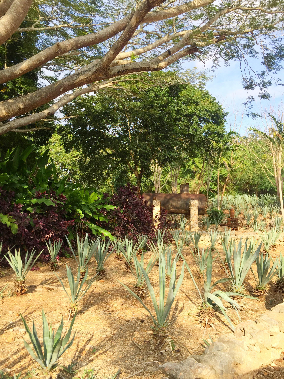 Не все владельцы ранчо могут реализовать урожай ананасов, на базар в город не пускают кордоны