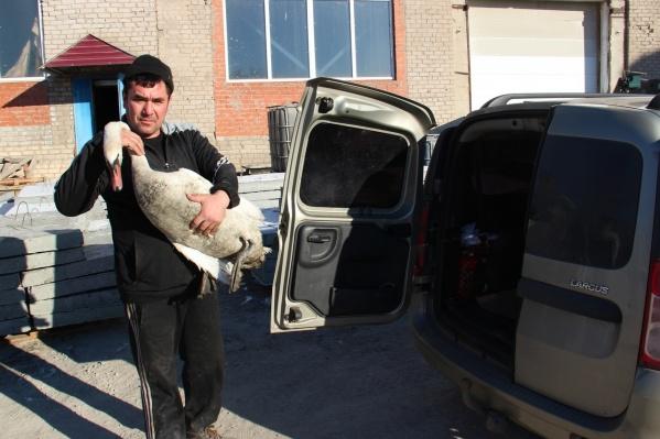 Лебедей отвезли в Самарский зоопарк