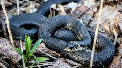 В Нижегородской области активизировались змеи. Рассказываем, как оказать экстренную помощь