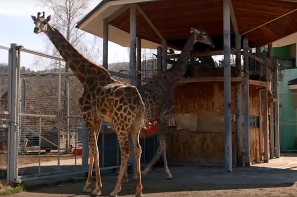 Первыми на воздух выпустили жирафов