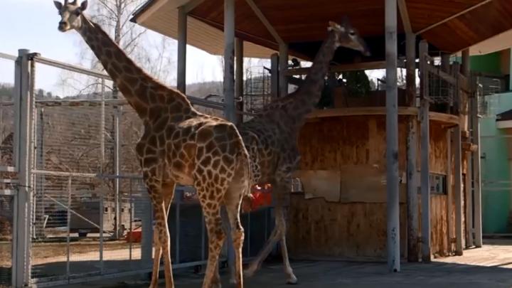 В красноярском зоопарке животных переместили в летние вольеры из-за аномальной жары