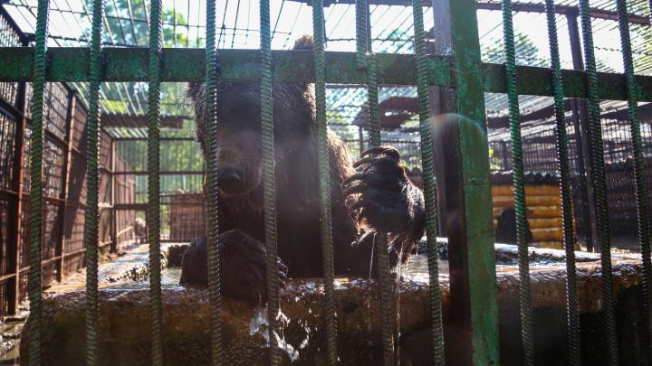 Вечеринка в бассейне: фоторепортаж как в Уфе спасают медведей от жары