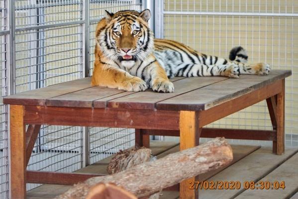 Дорогу тигрица перенесла хорошо