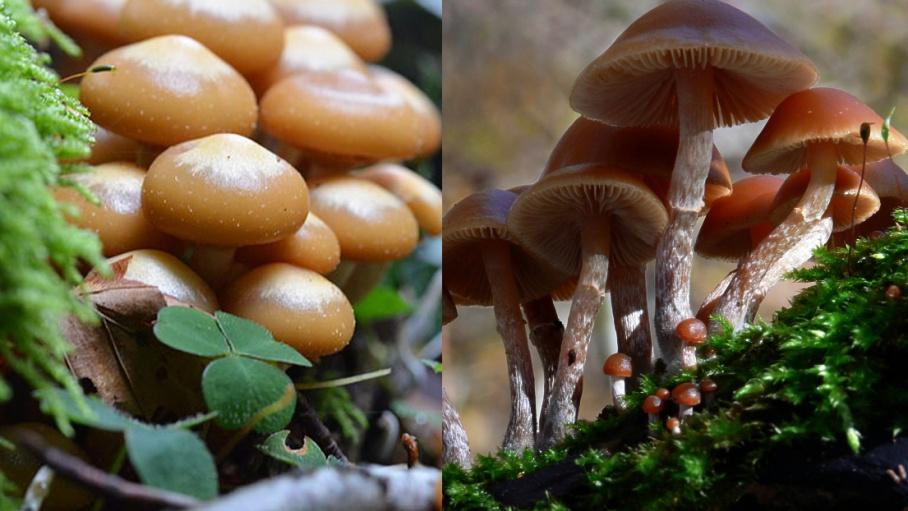 Опята — это грибная классика жанра. Вот только на одной из картинок — никакие не опята, а их очень ядовитые двойники. Какие выбираете?