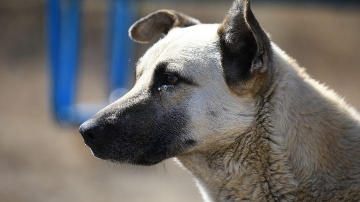 В Красноярске клещи нападают на собак и заражают их смертельной болезнью