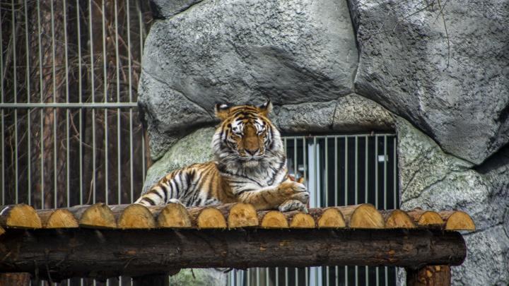 Как выглядит зоопарк без людей: волки воют без посетителей, а тигры спят
