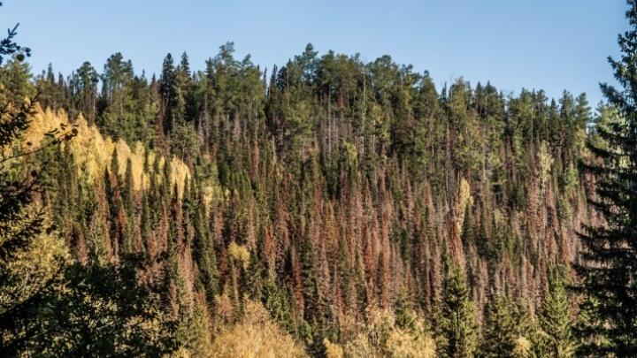 Красноярские ученые выявили причину древних катаклизмов с помощью деревьев
