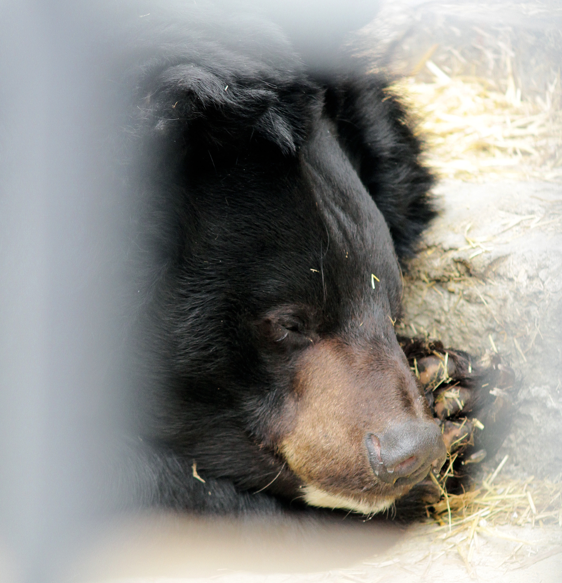 Медведь Гай уже почти впал в спячку