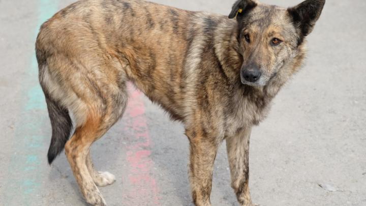 Дело о гибели пермячки от укусов бездомных собак передадут в СК России