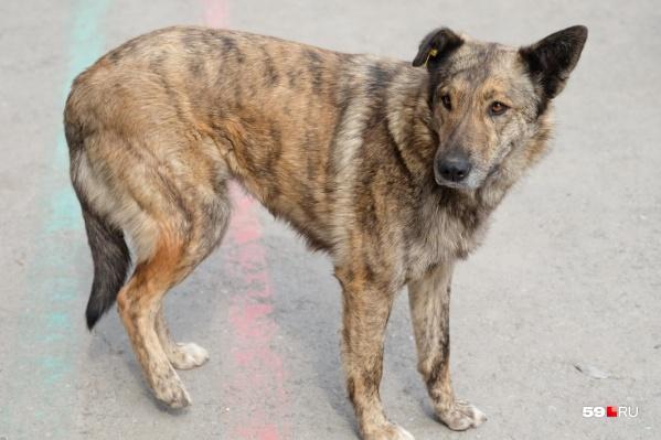 Собаки напали на женщину в микрорайоне Висим