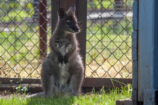 Знакомьтесь, детёныш кенгуру Беннета