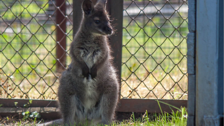 «Уже не прячется в маминой сумке»: в челябинском зоопарке родился детёныш кенгуру