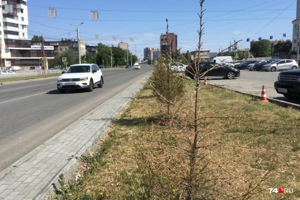 О качестве озеленения можно судить по этим погибшим ёлочкам на участке между улицами Воровского и Блюхера