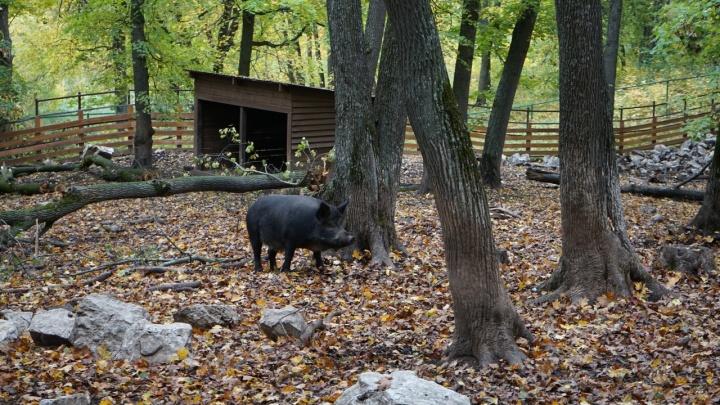 Режим ЧС: в Самарской области выявили ещё 5 случаев африканской чумы свиней