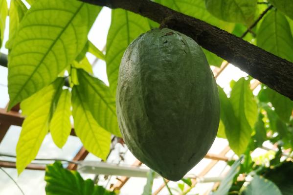 Шоколадное дерево прежде уже плодоносило, но такие большие плоды у него впервые