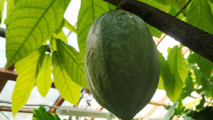 Не растение, а пища богов! В Екатеринбурге плодоносит «своенравное» шоколадное дерево