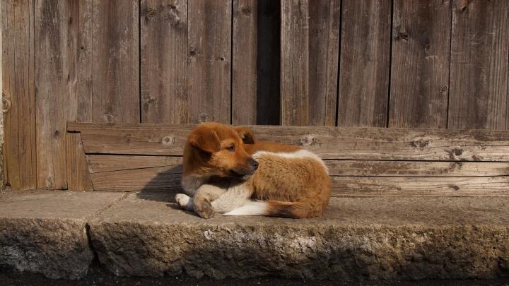 Власти сообщили, что в Перми впервые за несколько лет снизилось количество нападений бездомных собак